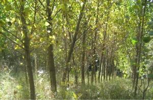 Фото: В. Літвін, тополя, 4-річне насадження